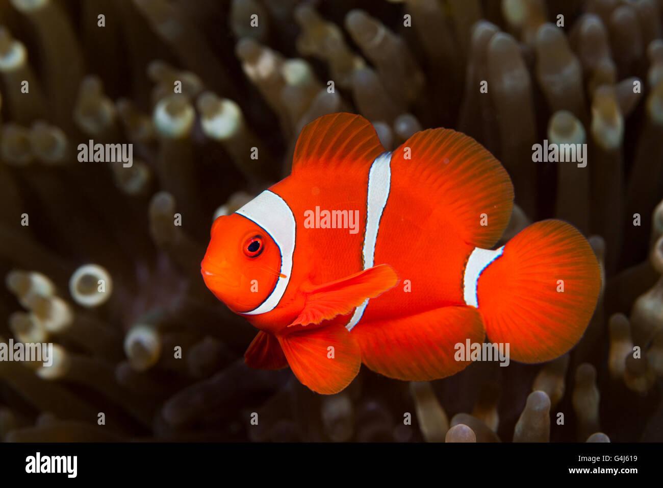 Spinecheek Clownfish, Premnas aculeatus, Ambon, Moluccas, Indonesia Stock Photo