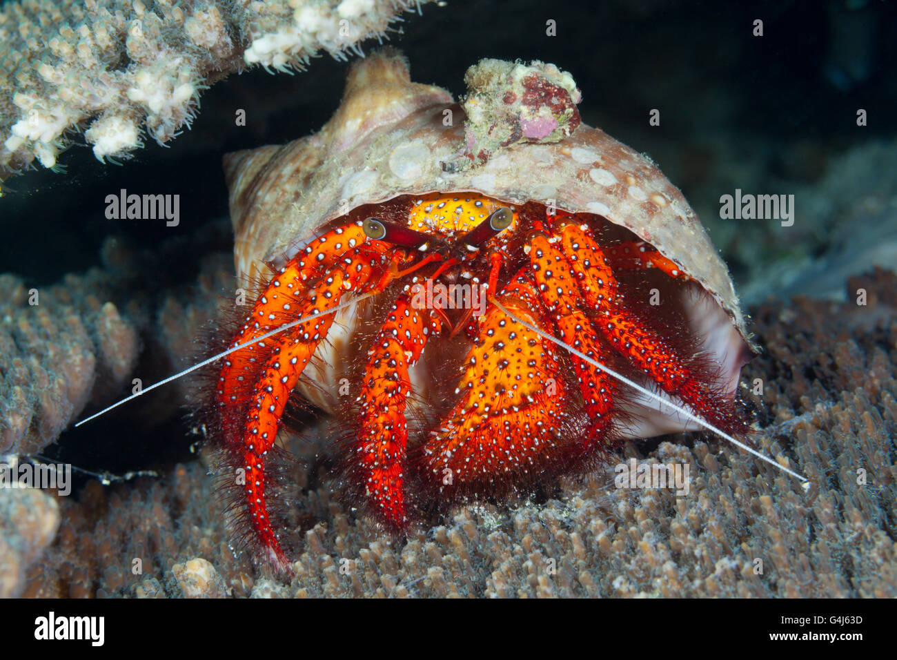 Red Hermit Crab, Dardanus megistos, Ambon, Moluccas, Indonesia - Stock Image