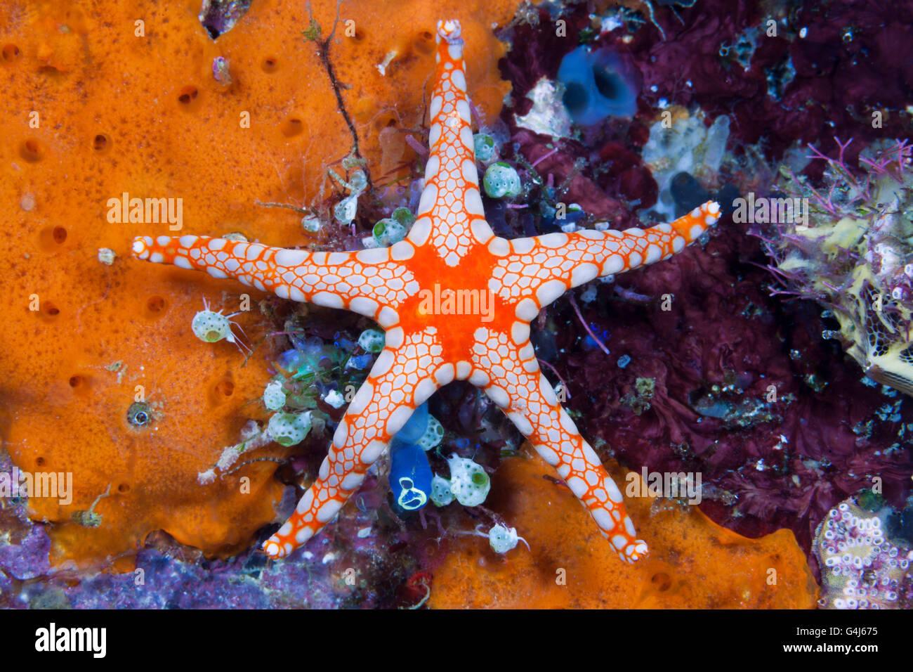 Red Mesh Starfish, Fromia monilis, Ambon, Moluccas, Indonesia - Stock Image