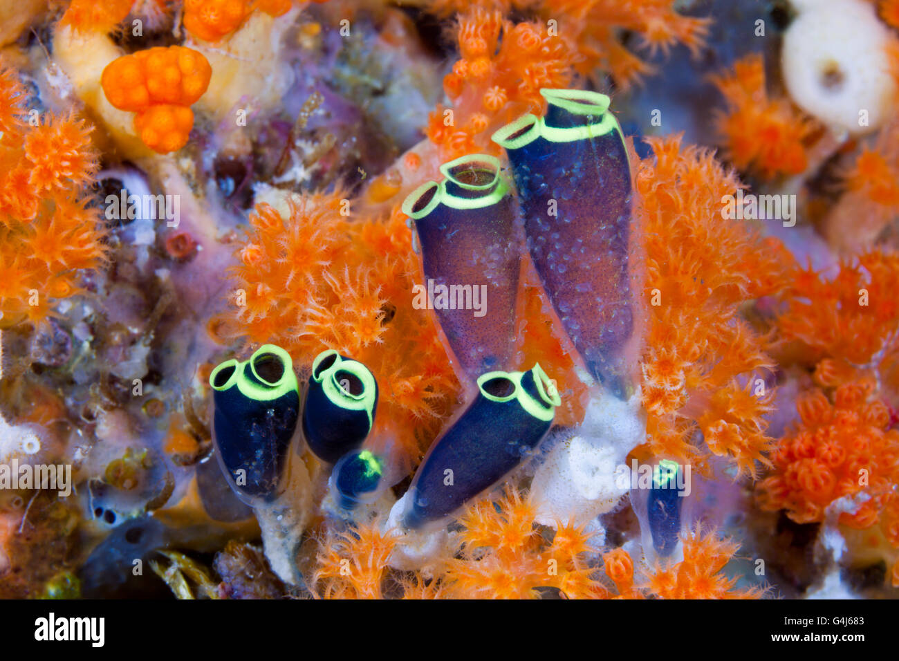 Sea Squirts Colony, Clavelina robusta, Ambon, Moluccas, Indonesia Stock Photo