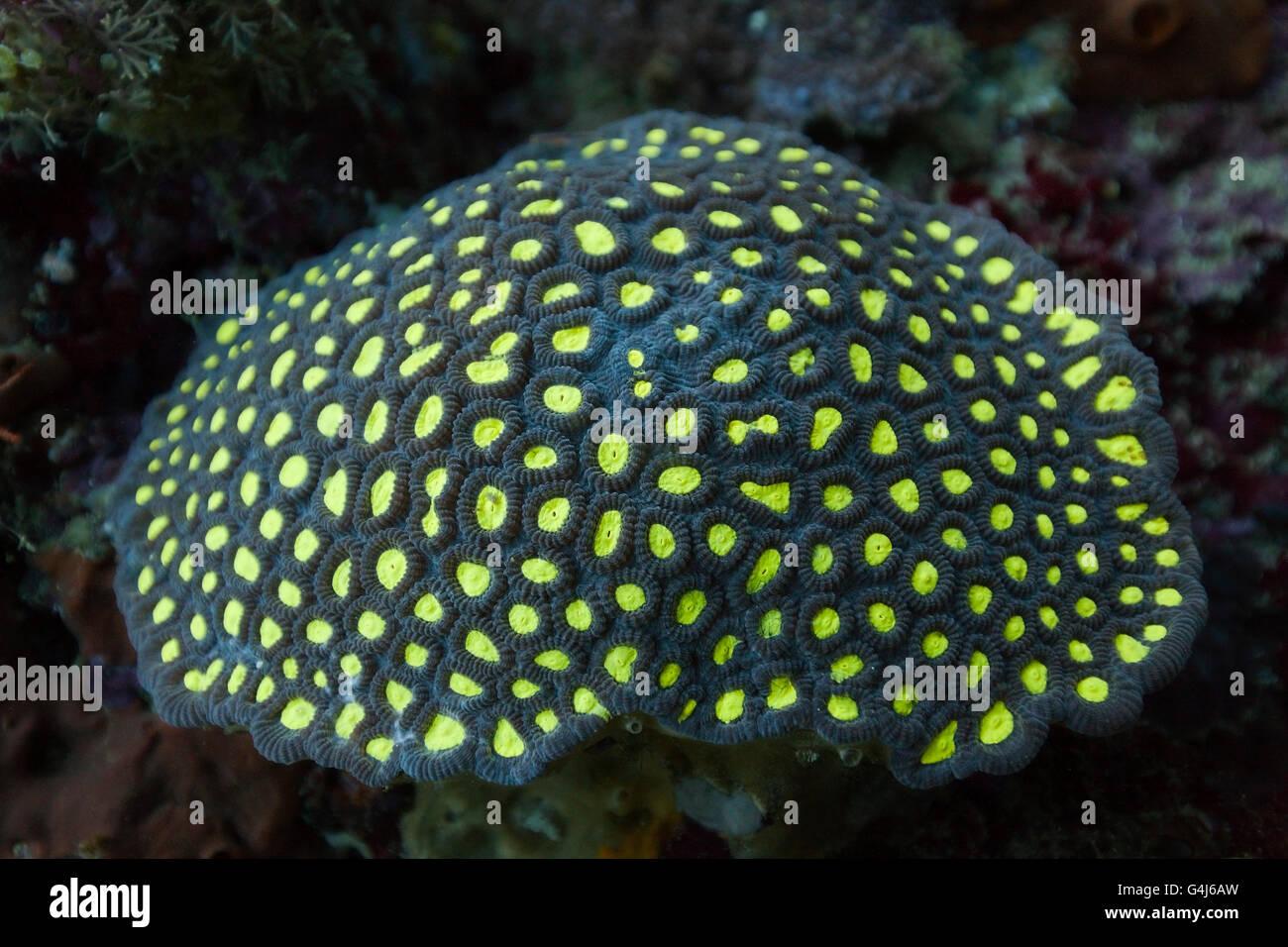 Fluorescent Hard Coral, Ambon, Moluccas, Indonesia Stock Photo