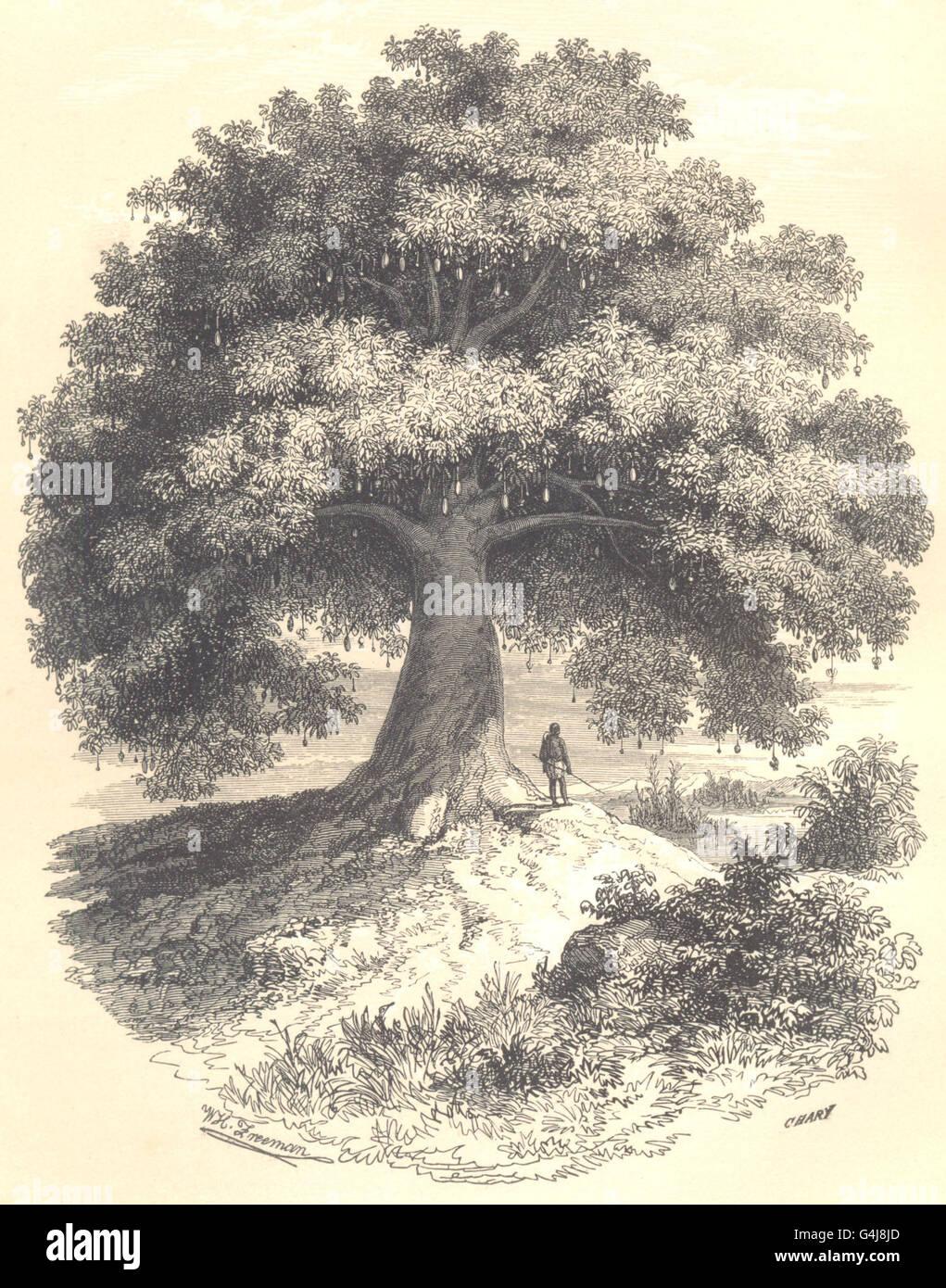 BOTANICALS: Baobab. Adansonia, antique print 1852 - Stock Image