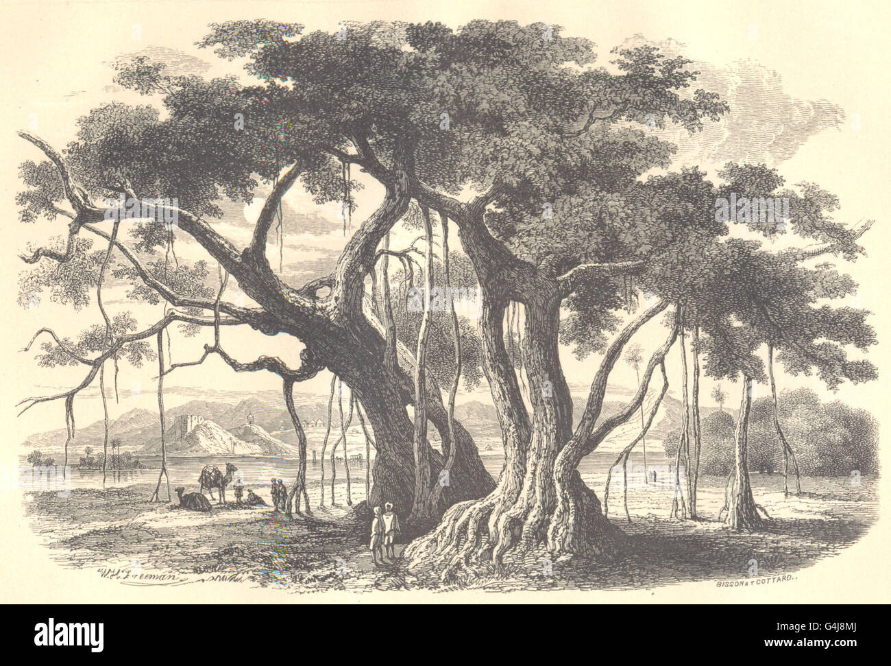 BOTANICALS: Figuier des pagodes. Ficus religiosa. (Morées) , old print 1852 Stock Photo