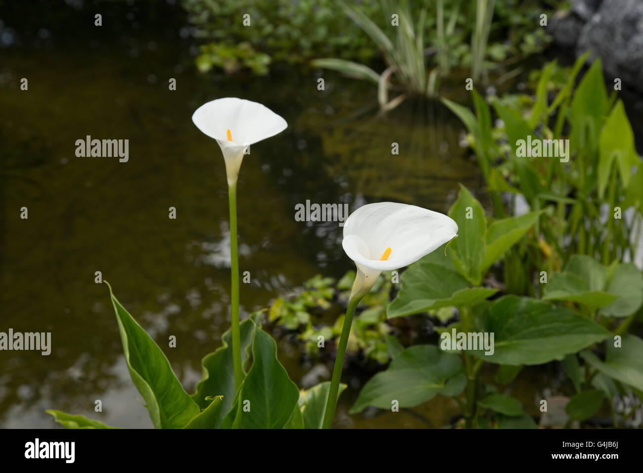 Arum Lily Growing As A Marginal Water Plant In A Garden Pond Stock