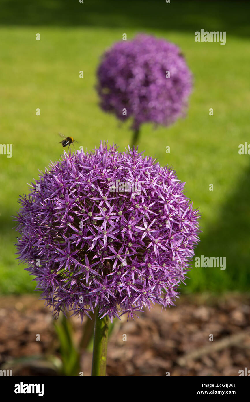 A bee explores a Globemaster allium flowers in full bloom, just before turning to seed - Stock Image