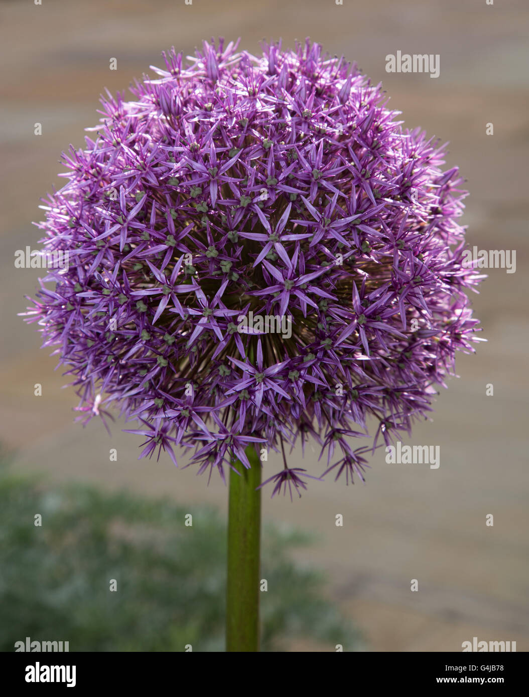 Globemaster allium flowers in full bloom, just before turning to seed - Stock Image