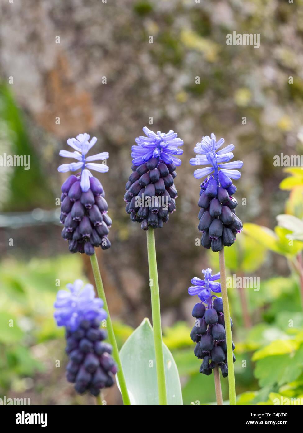 Muscari latifolium flowers Stock Photo