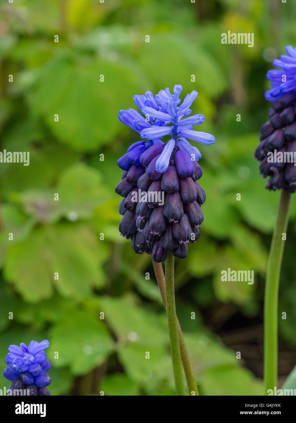 Muscari latifolium flower Stock Photo