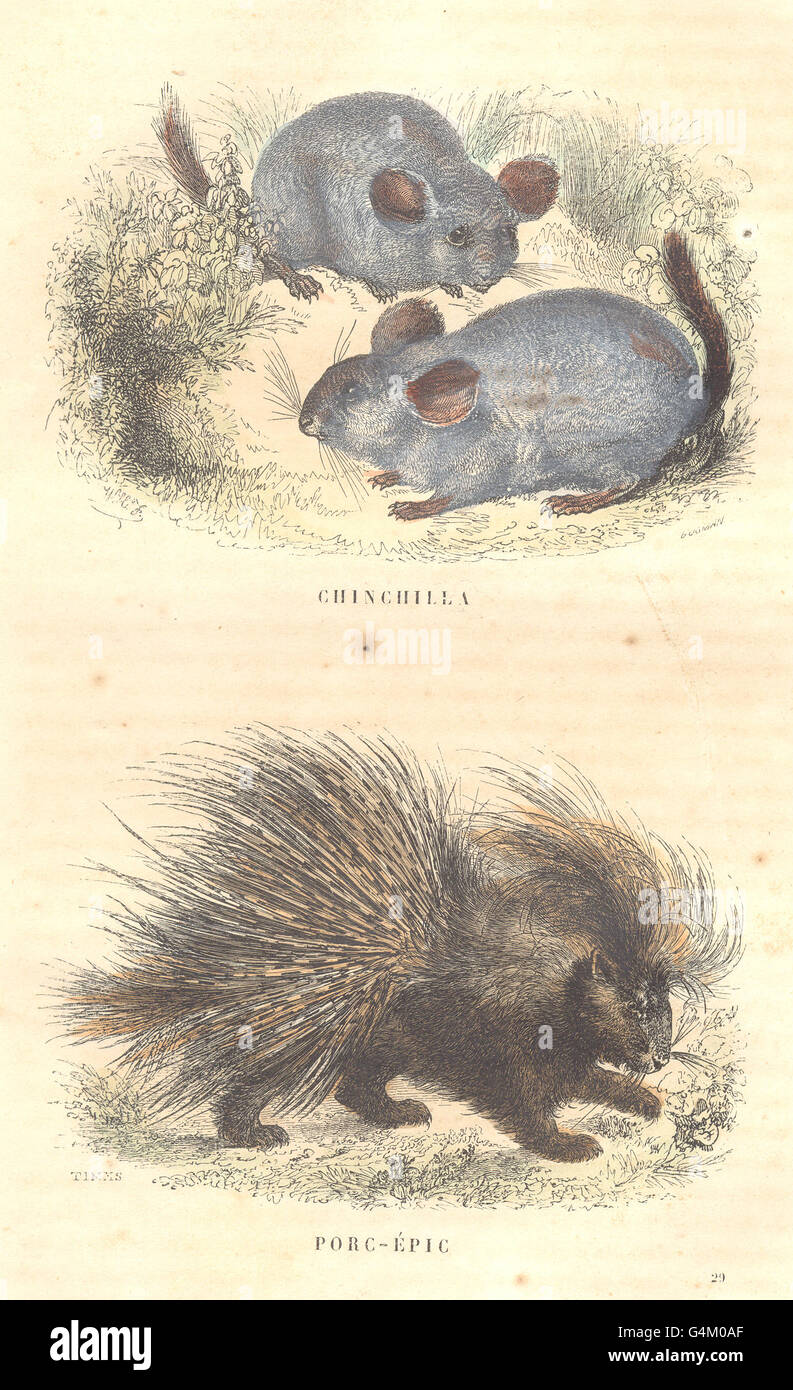 MAMMALS: Quadrupeds: Chinchilla; Porcupine, antique print 1873 - Stock Image