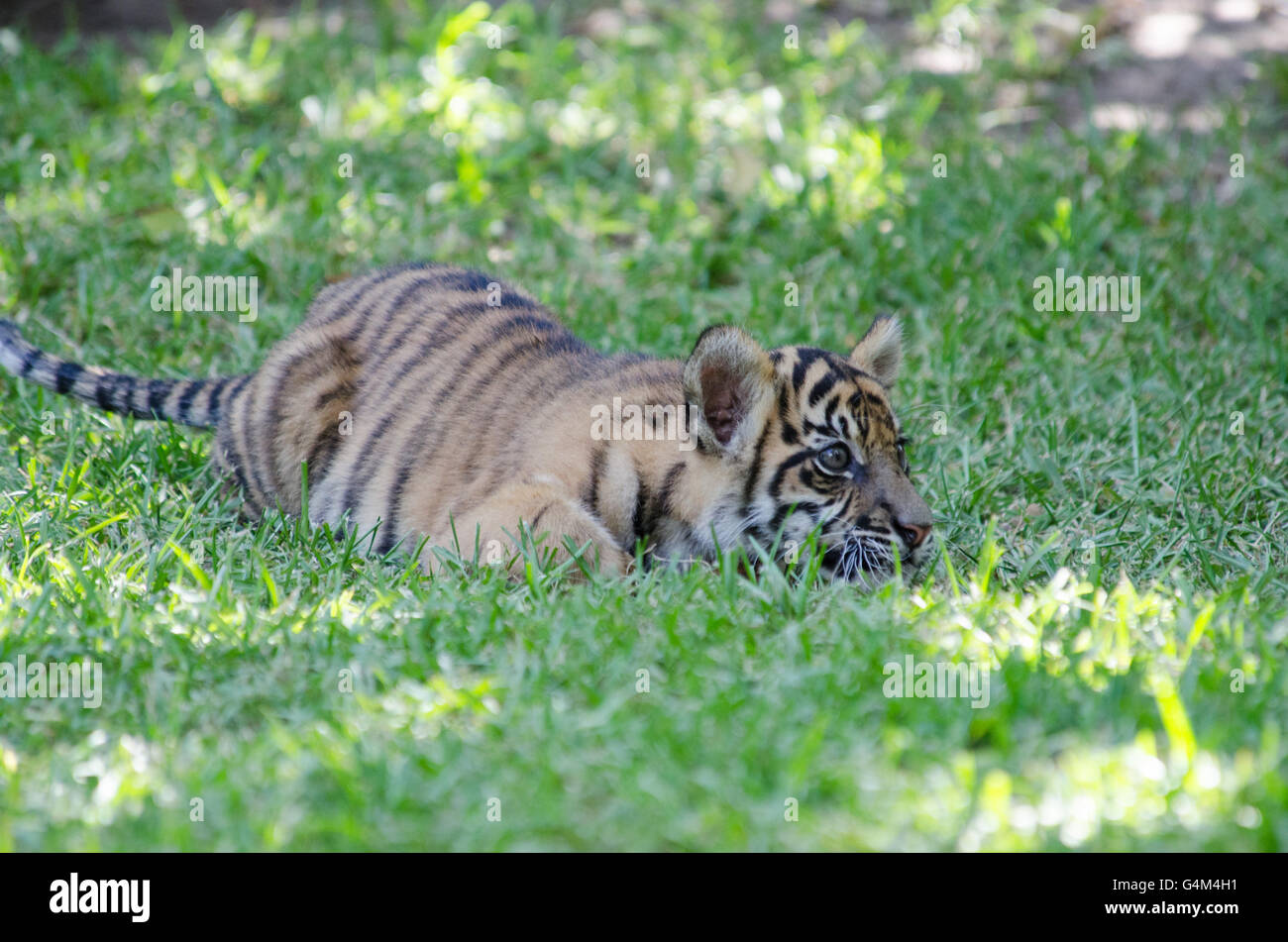 Three months old Sumatran tiger cub playing in the grass in Australia Zoo Stock Photo