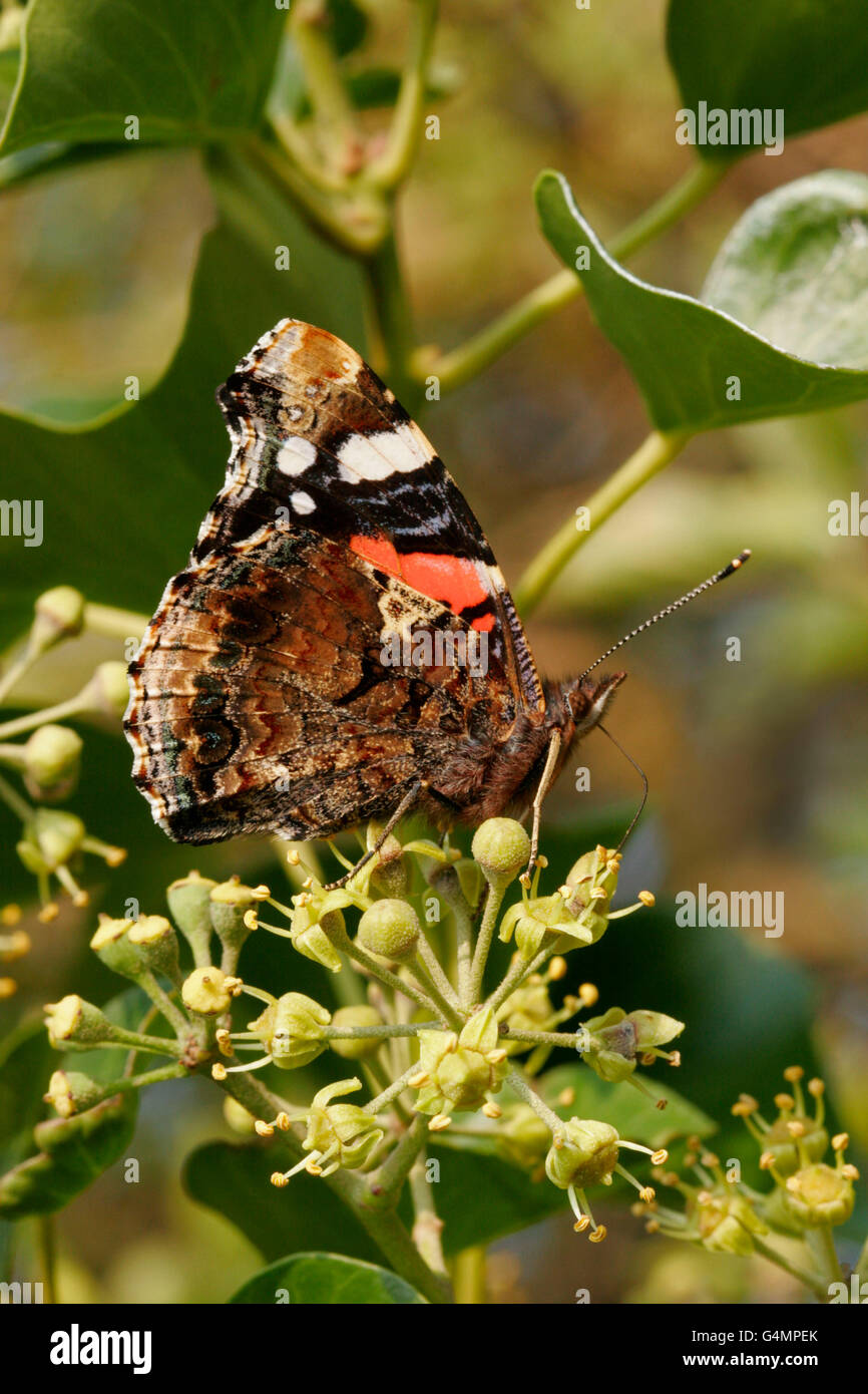 Red Admiral, Vanessa atalanta, single adult feeding on ivy.  Taken October. Lea Valley, Essex, UK. - Stock Image