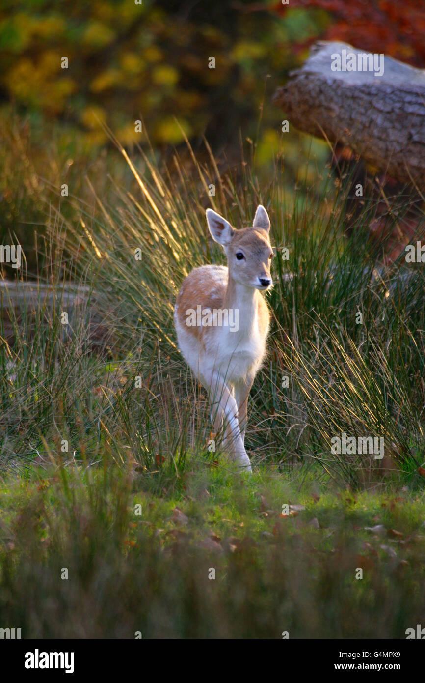 Fallow Deer, Dama dama, single fawn walking through long grass.  Taken November. Knole Park, Kent, UK. - Stock Image
