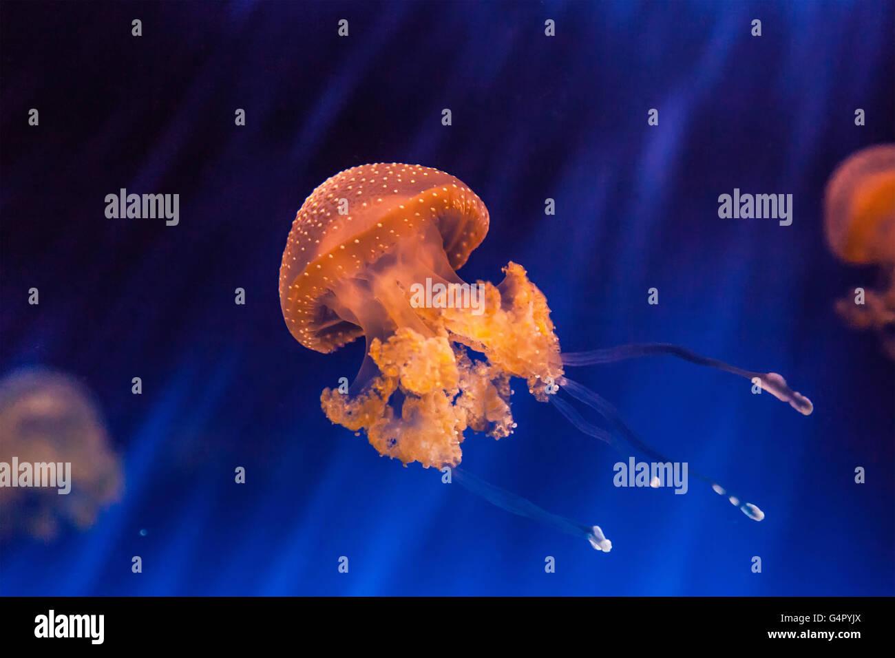 Beautiful jellyfish Phyllorhiza punctata - Stock Image