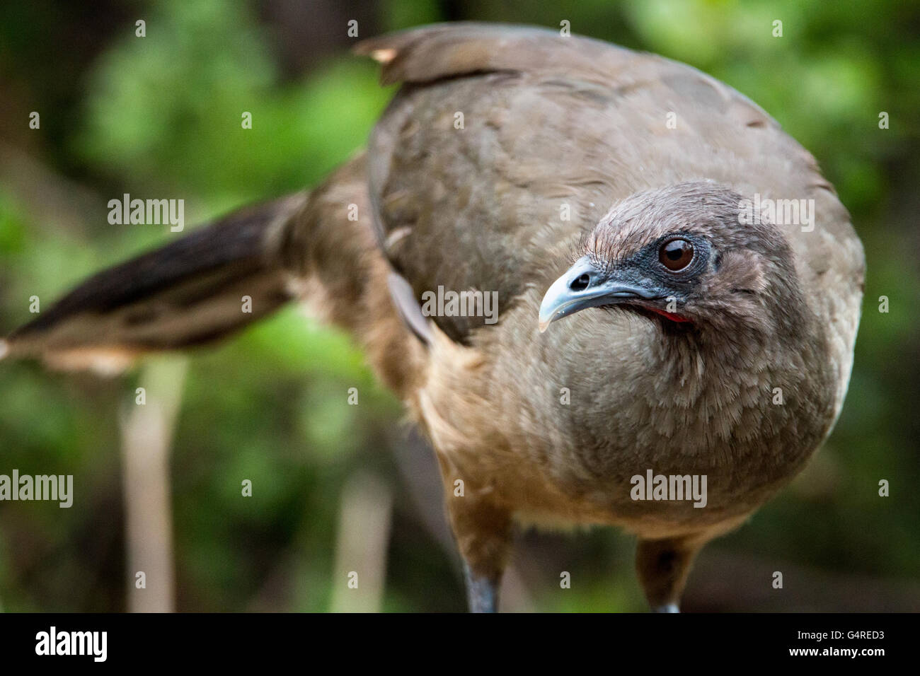 Close-up of Plain Chachalaca (Ortalis vetula) at Camp Lula Sams in Brownsville, Texas - Stock Image
