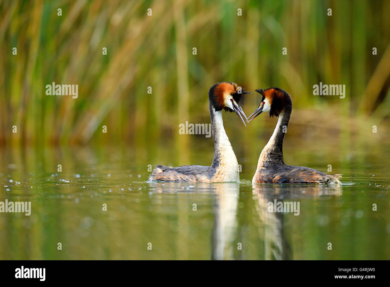 Great crested grebes (Podiceps cristatus), pair during courtship, Lake Lucerne, Canton of Lucerne, Switzerland Stock Photo