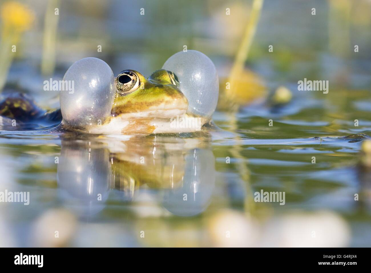 Edible frog (Pelophylax esculentus) in water, vocal sac, Hesse, Germany - Stock Image