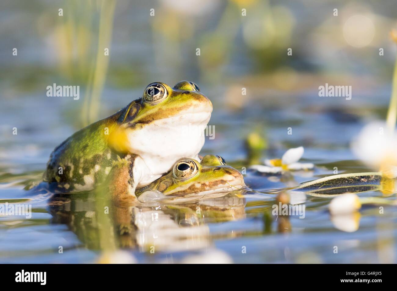 Edible frogs (Pelophylax esculentus) in water, mating, white water-crowfoot (Ranunculus aquatilis), Hesse, Germany - Stock Image