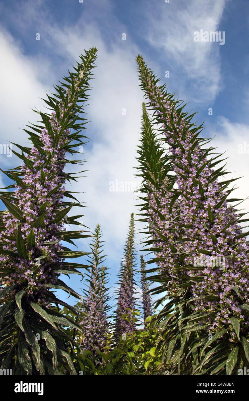 Echium pininana plants tower above everything else in this Devon, UK,  garden. - Stock Image