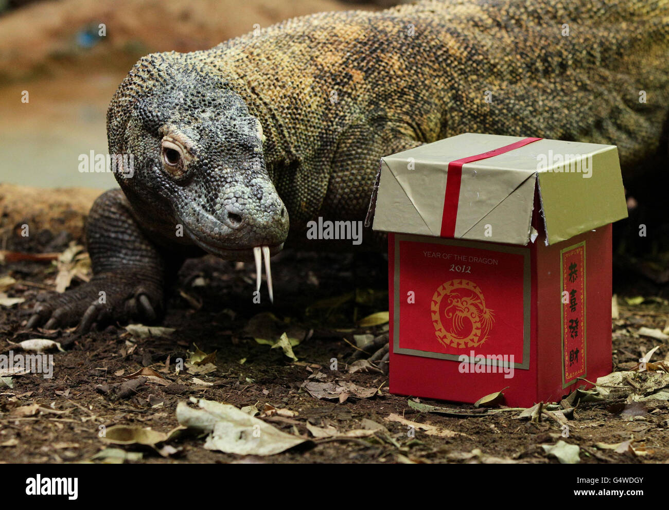 A 13 Year Old Male Komodo Dragon Is Given A Treat Stock