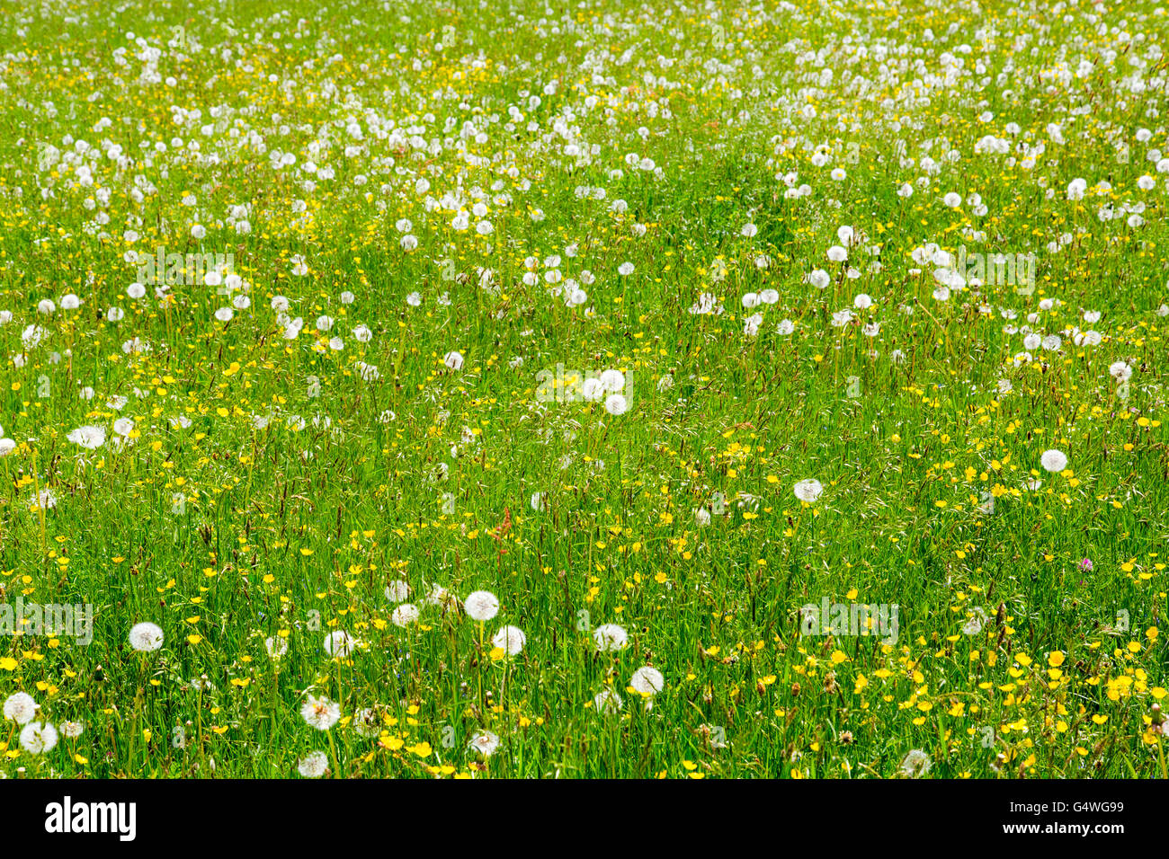 Blooming mountain meadow, Sauerland area, Germany, - Stock Image
