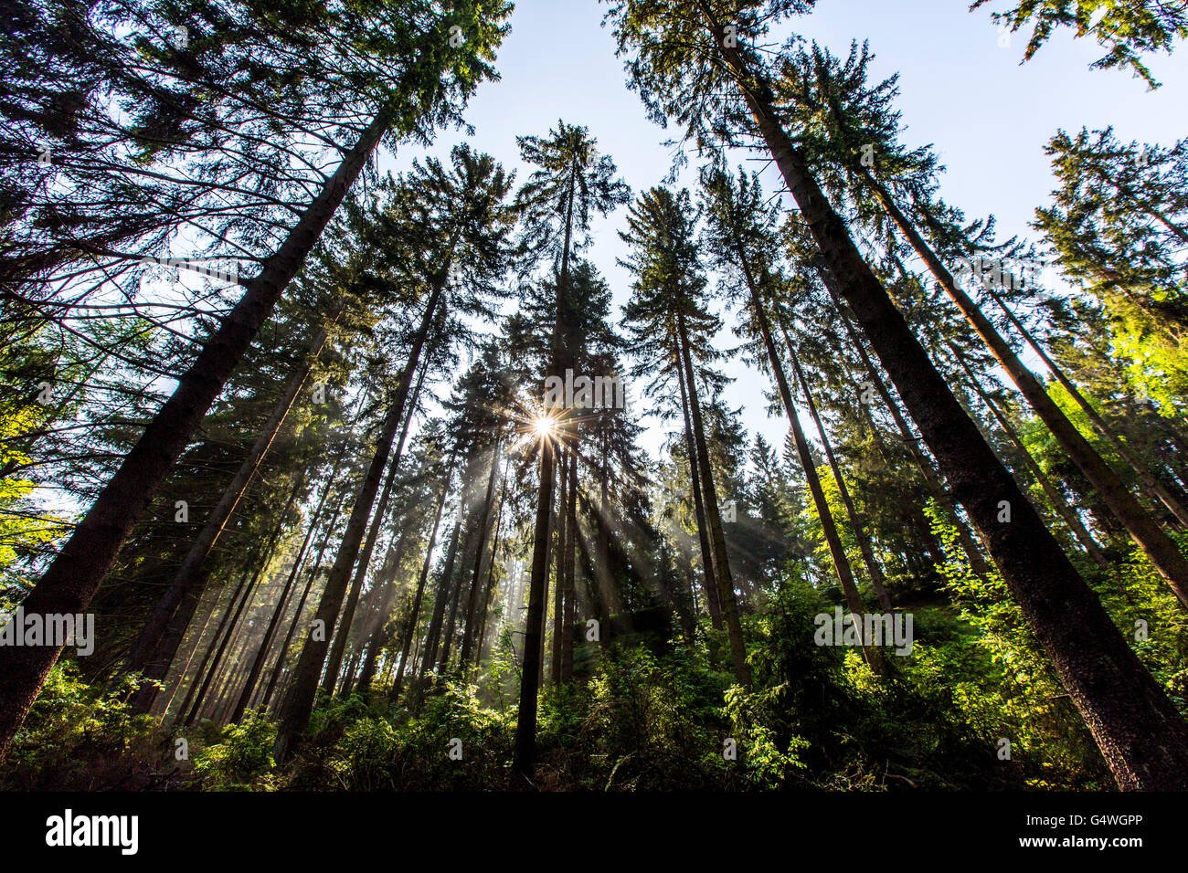 Forest, spruce, sun rays penetrate through the treetops, timberland, Sauerland area, Winterberg, Germany, Stock Photo