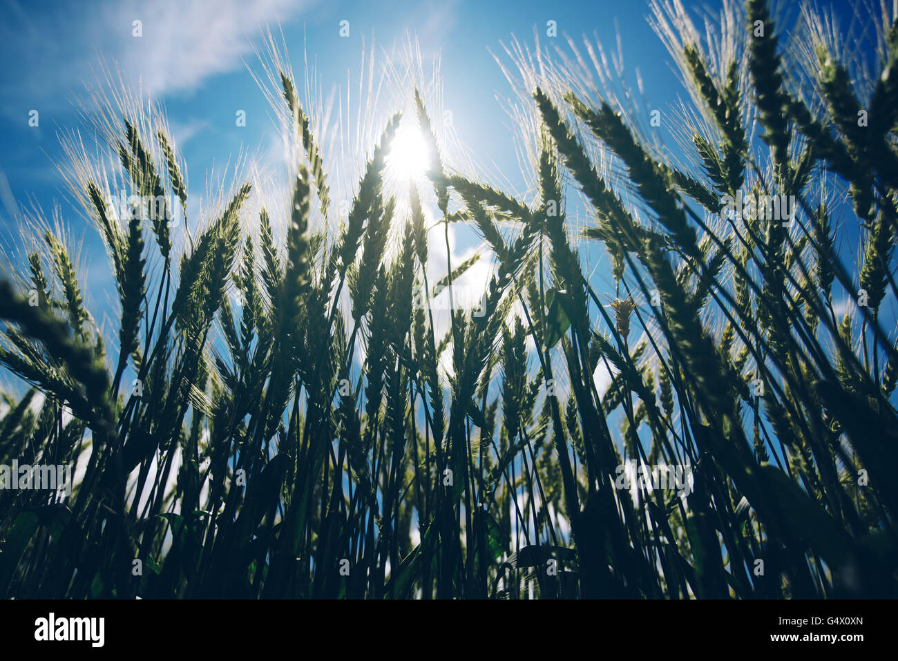 Low angle view of retro toned wheat field against summer sun, crops growth and successful agricultural production - Stock Image