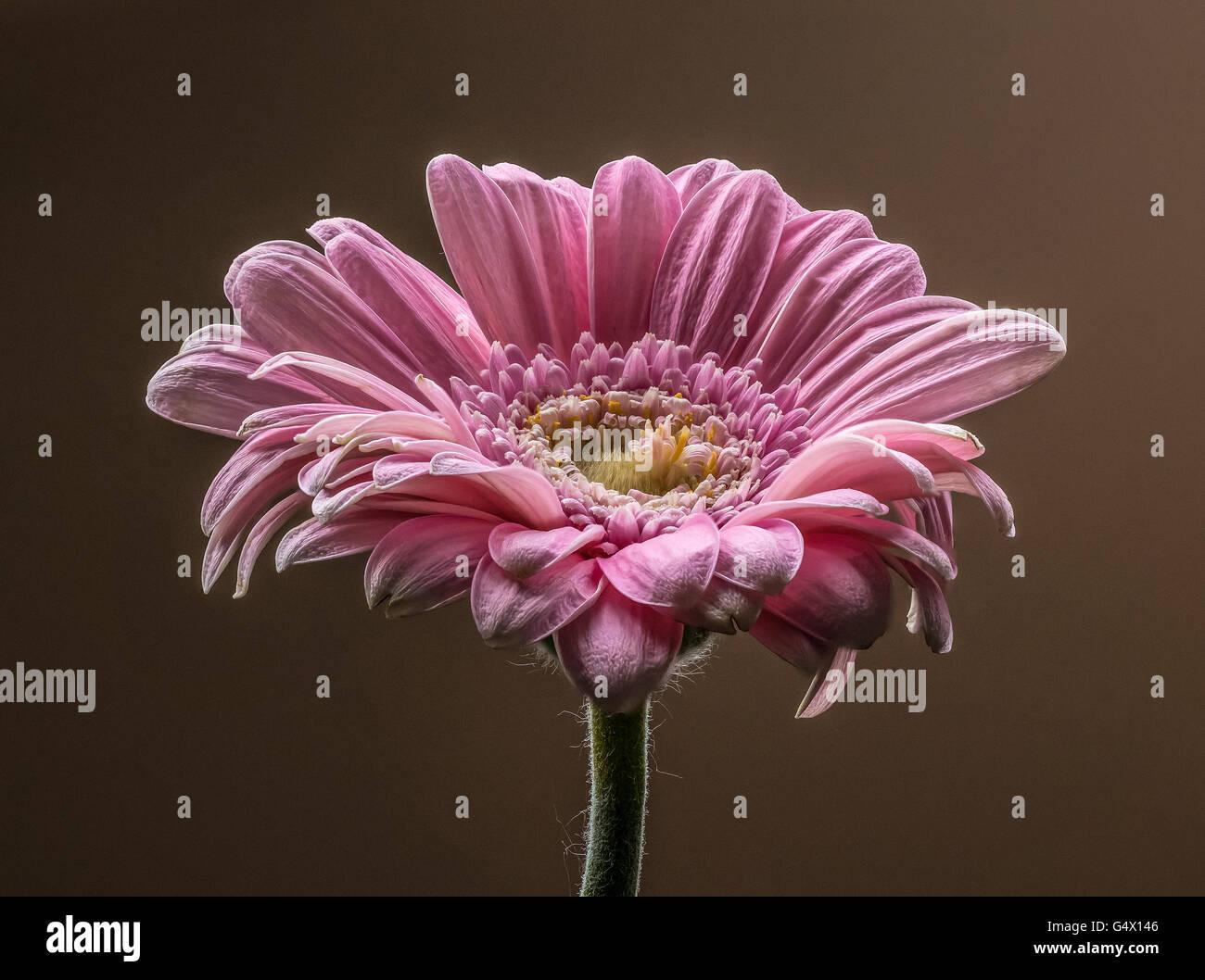 Gerbera Flower taken using Focus Stacking Technique - Stock Image