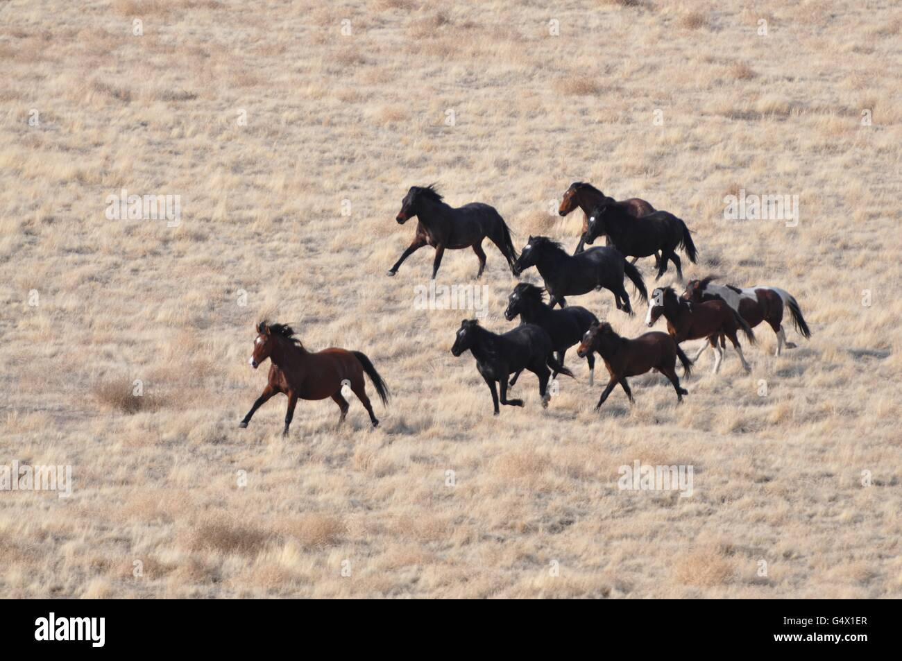 Wild Horse Herd Running At The Onaqui Herd Management Area February Stock Photo Alamy