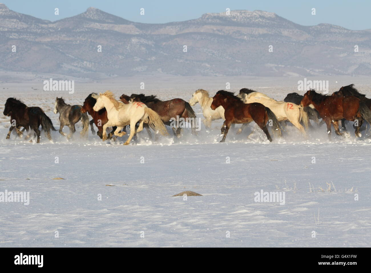 Wild Horses Running In Snow High Resolution Stock Photography And Images Alamy