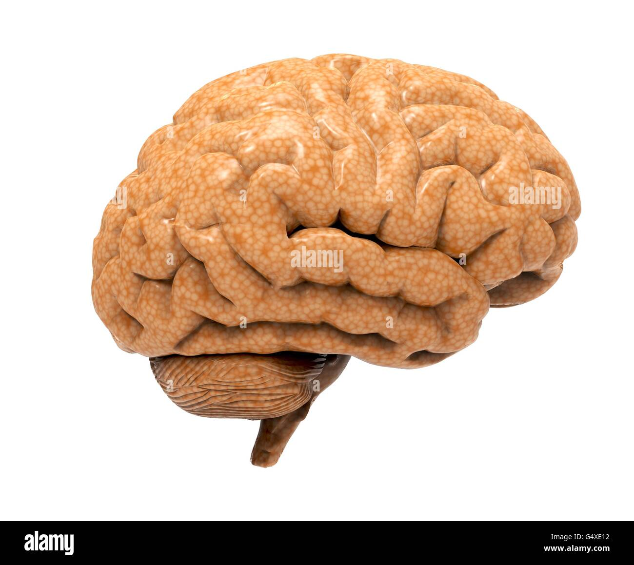 brain isolated on a white back ground - Stock Image