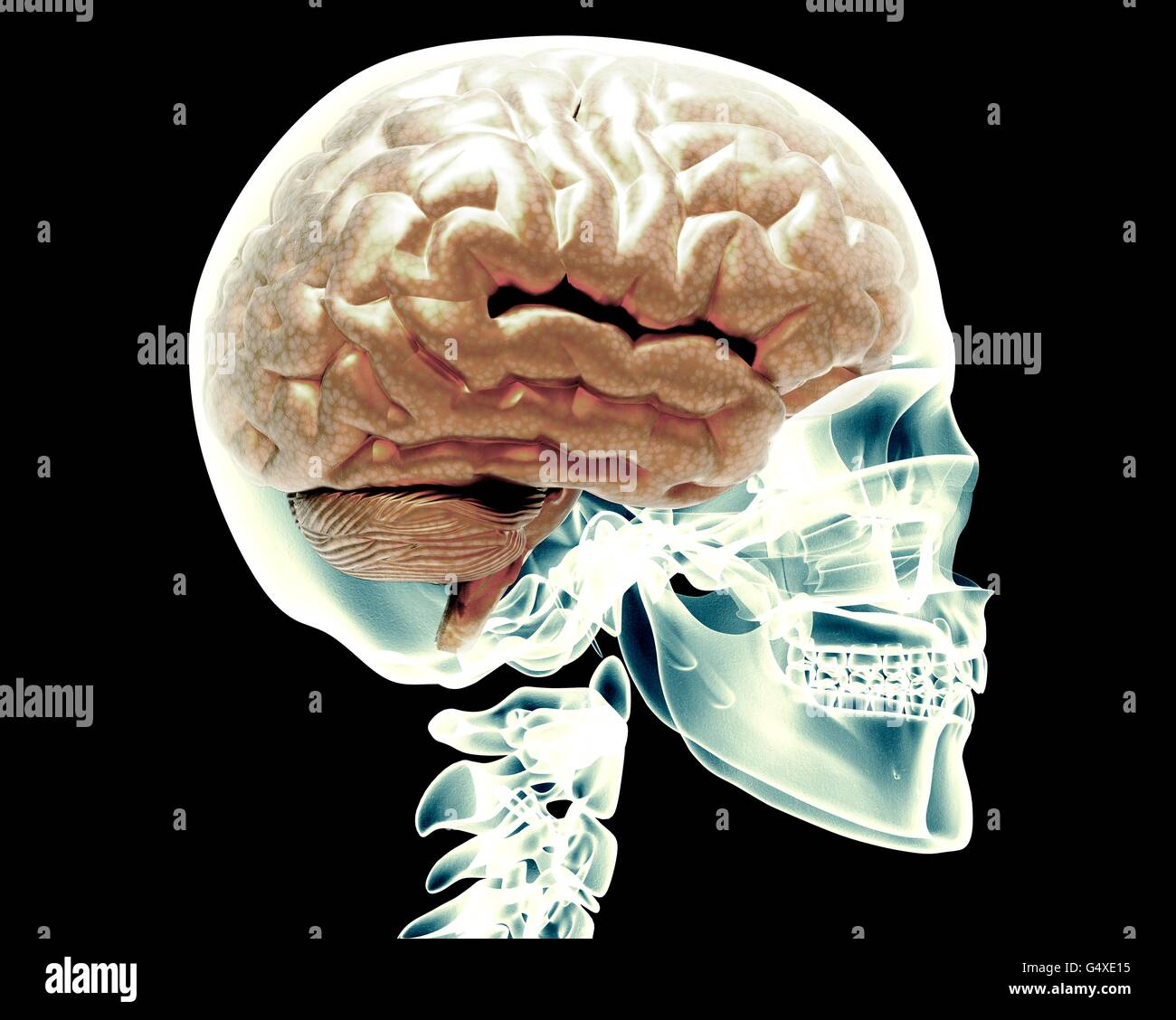 x-ray scull with brain isolated on black - Stock Image