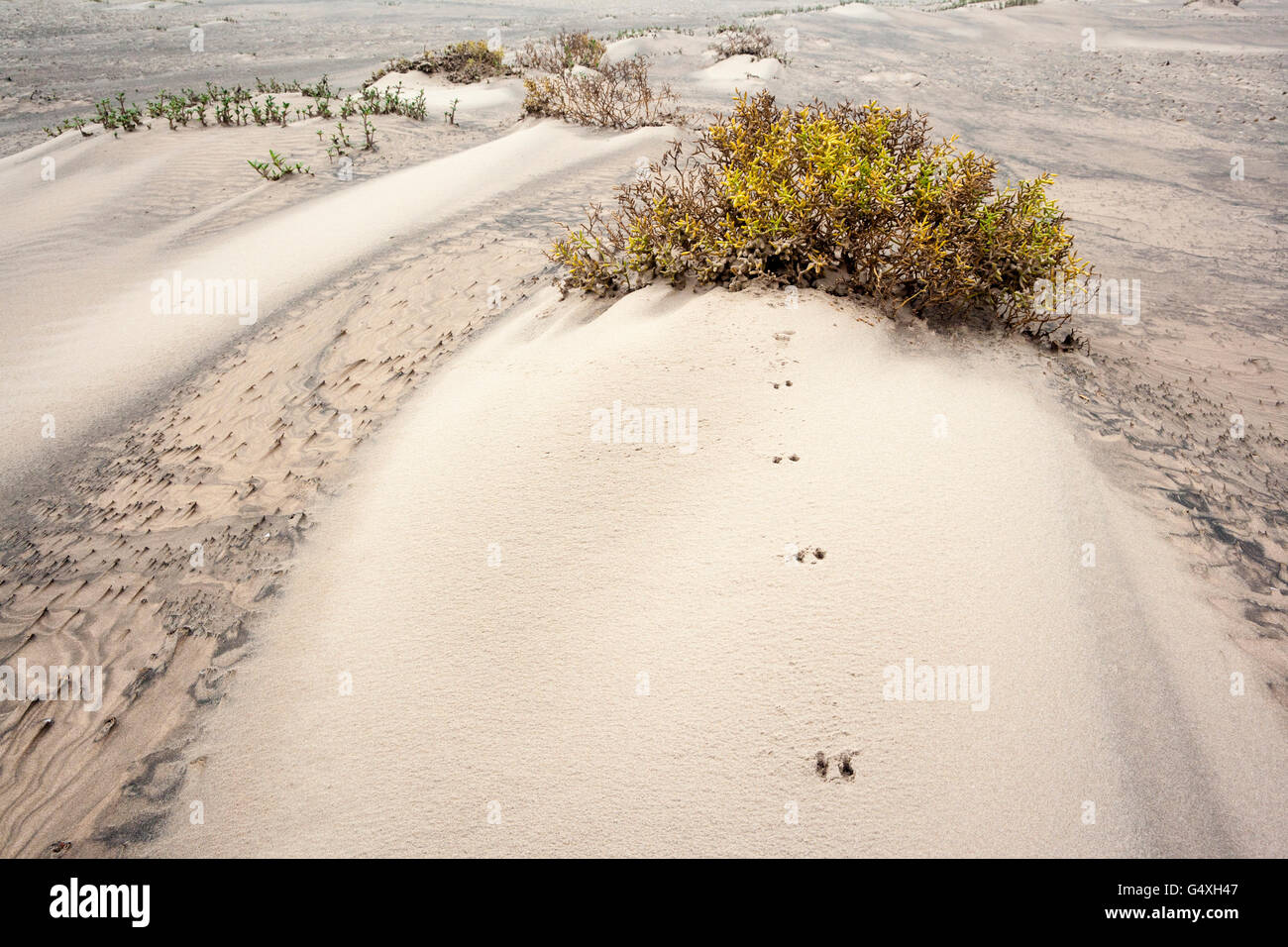 Animal Tracks in Dunes on South Padre Island, Texas, USA - Stock Image