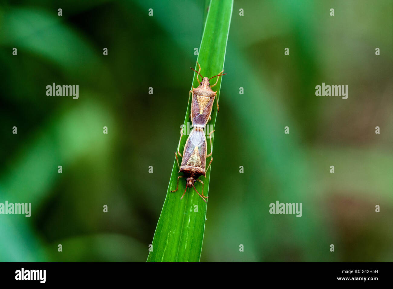 Stink Bug Species Mating - Camp Lula Sams, Brownsville, Texas, USA - Stock Image