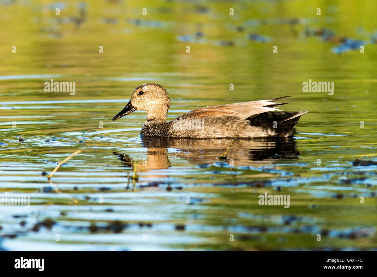 Male Gadwall Duck (Anas strepera) - Camp Lula Sams, Brownsville; Texas, USA - Stock Image
