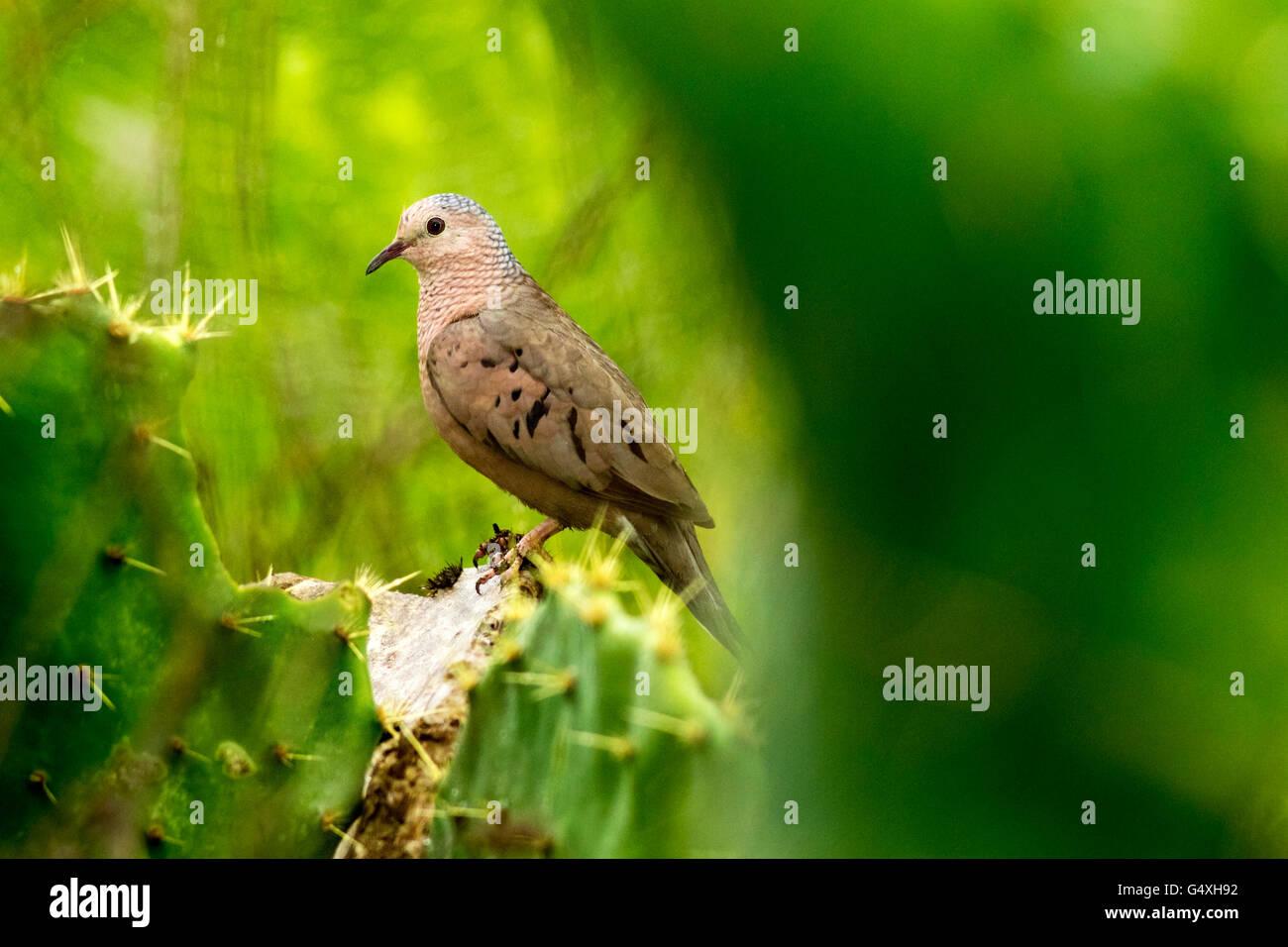 Common Ground-dove (Columbina passerina ) - Camp Lula Sams, Brownsville, Texas, USA - Stock Image