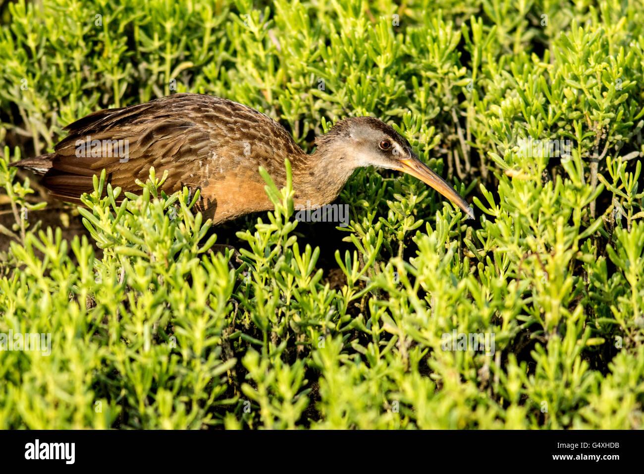 Clapper Rail (Rallus longirostris) - World Birding Center - South Padre Island, Texas USA - Stock Image