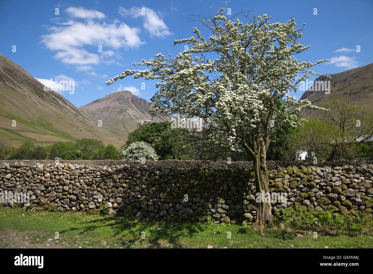 Hawthorn Tree, Wasdale Head, Wast Water, Lake District, Cumbria, England - Stock Image