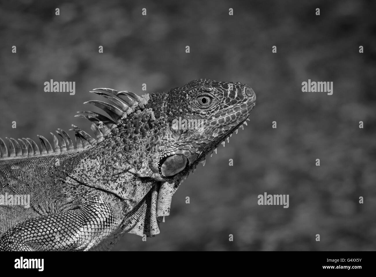 Black & white image of a large lizard - Stock Image