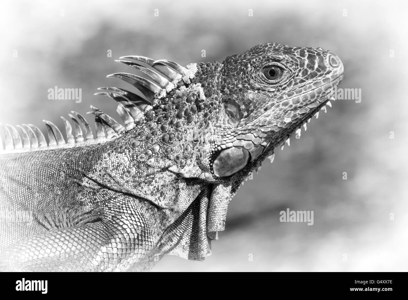 Black and white side view of a large lizard - Stock Image