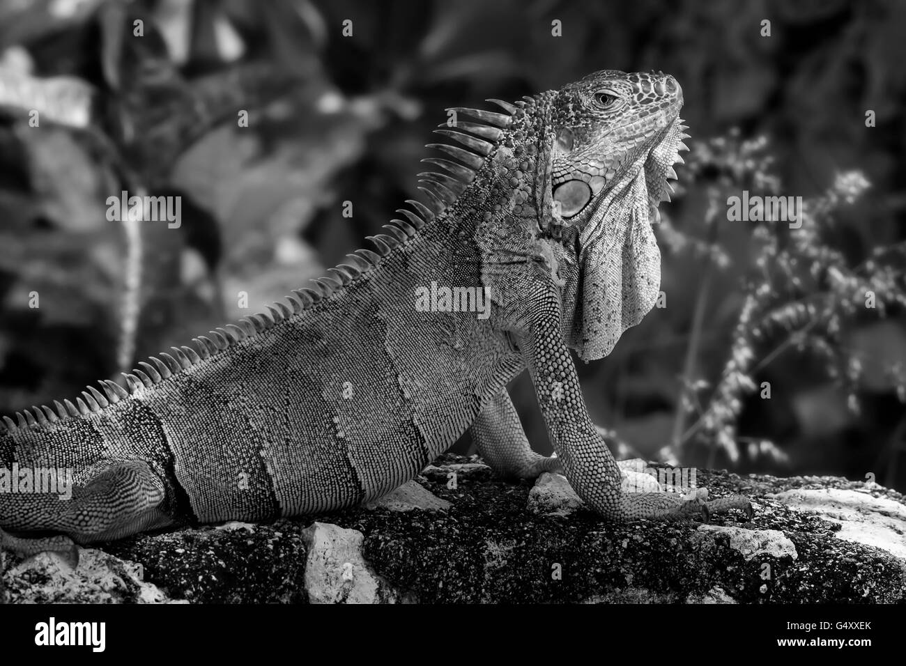 Large bearded lizard in black & white - Stock Image