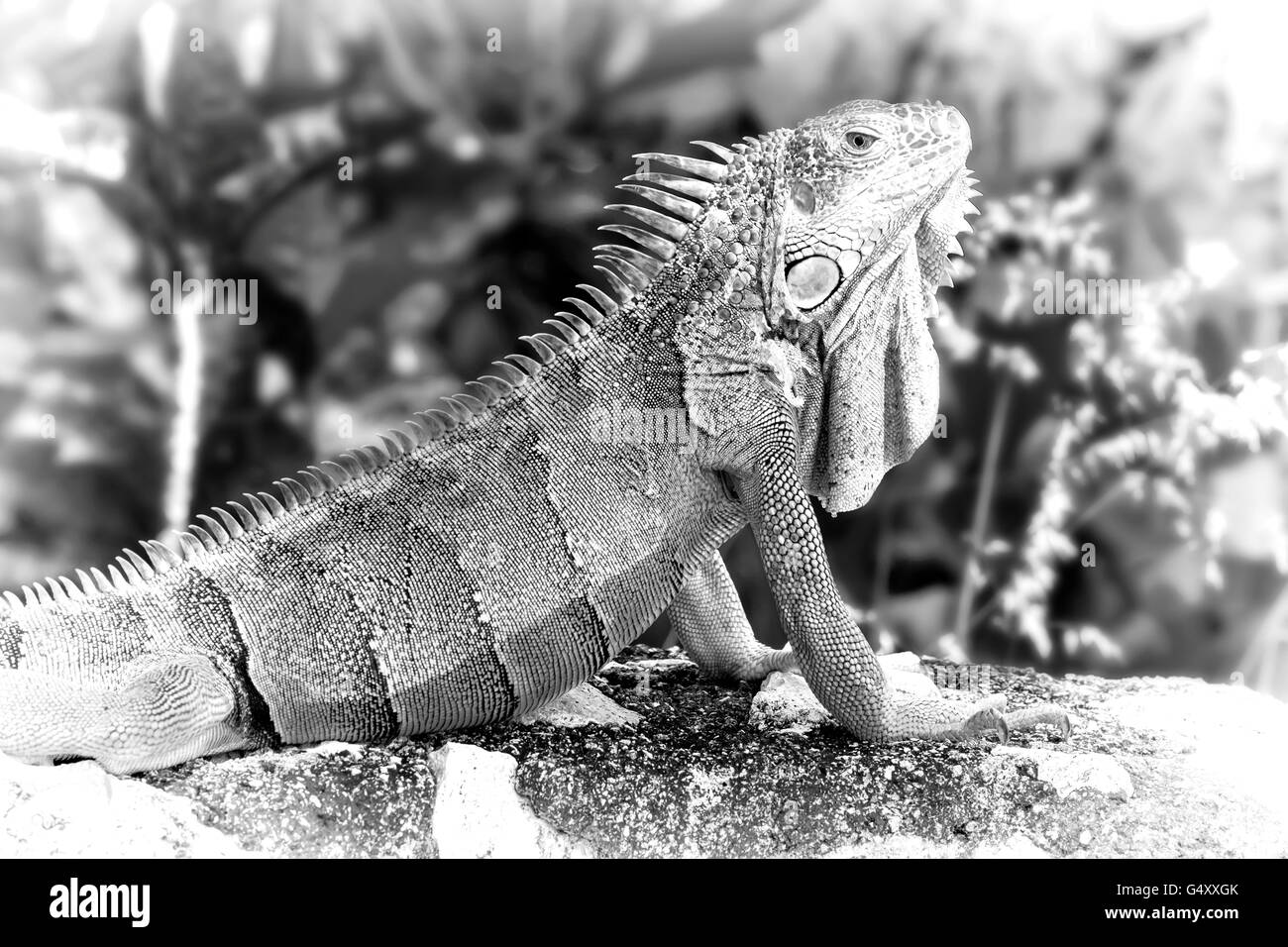 Digitally created pencil sketch of a large bearded lizard - Stock Image