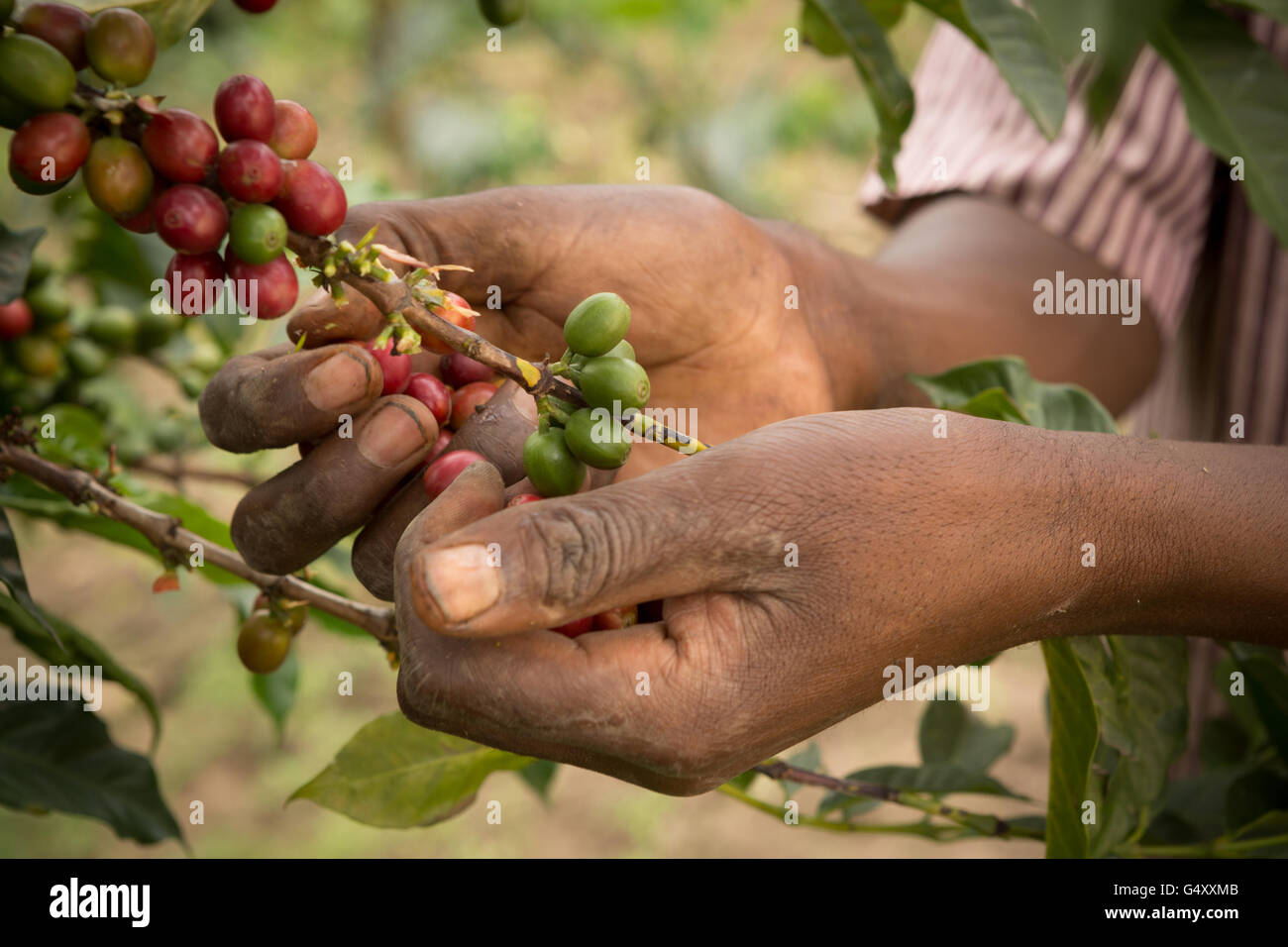 Coffee cherries are harvested from a farm in the Rwenzori Mountains, Uganda, East Africa. Stock Photo