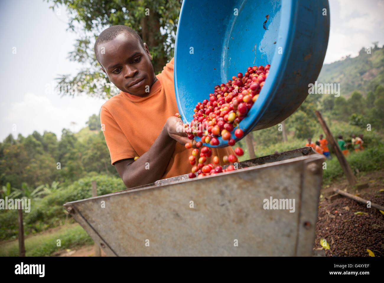 A farmer pours freshly-harvested coffee cherries into a mechanized pulper at a processing station in Kasese District, - Stock Image