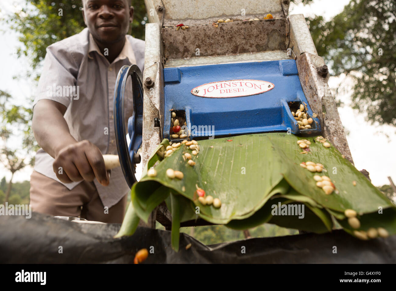 A farmer operates a mechanized coffee cherry pulper at a processing station in Kasese District, Uganda. - Stock Image