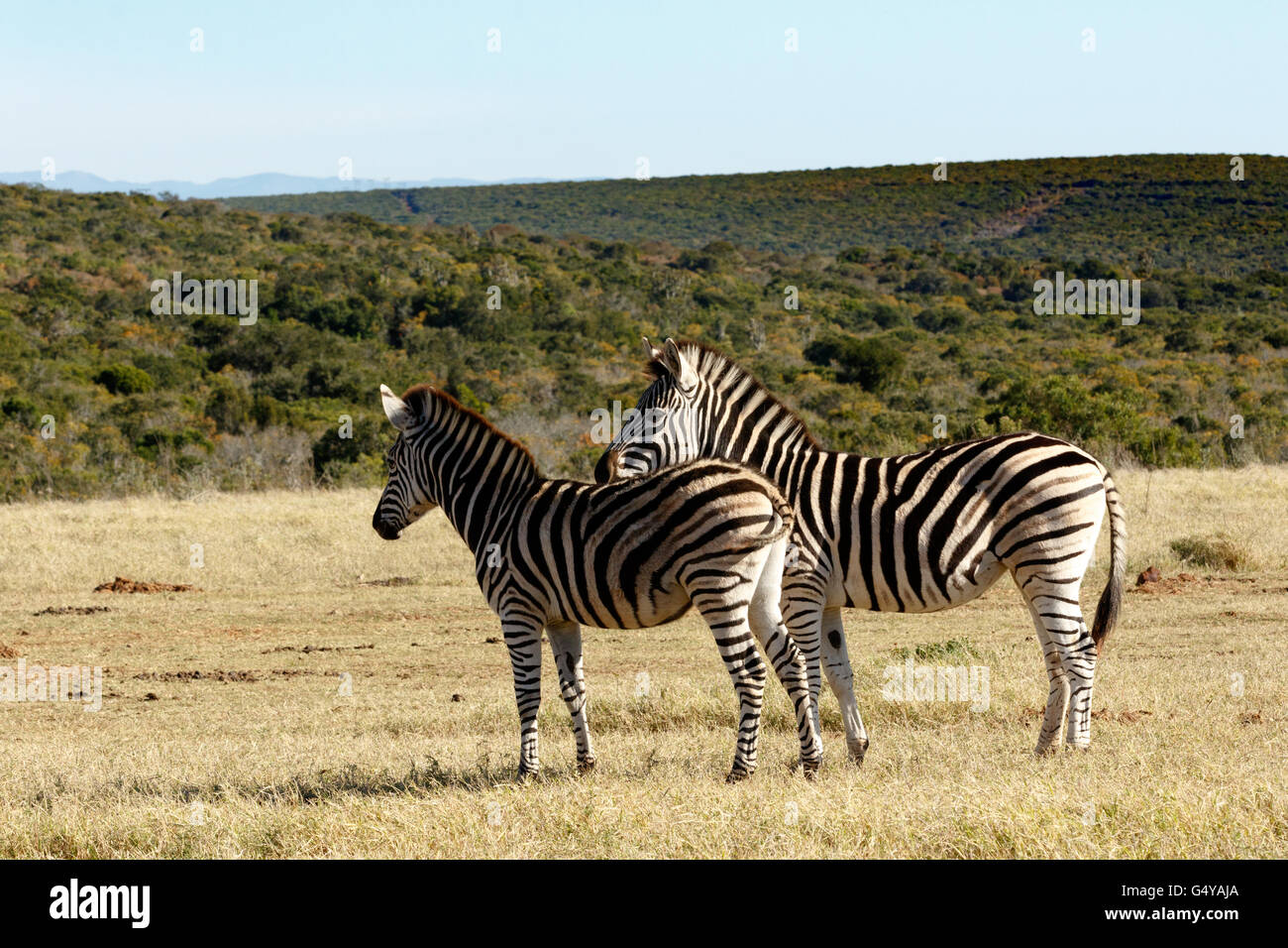 Yes it is BIG - Zebra is a southern subspecies of the plains zebra. It is named after the British explorer and naturalist - Stock Image