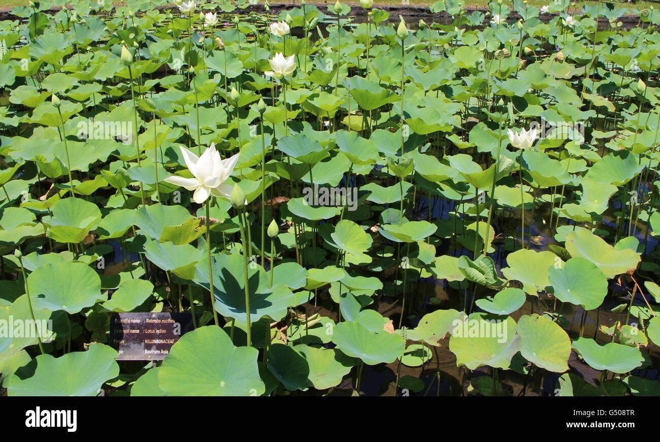 Lotus botanical gardens stock photos lotus botanical gardens stock indian lotus flower at sir seewoosagur ramgoolam botanical gardens stock image izmirmasajfo