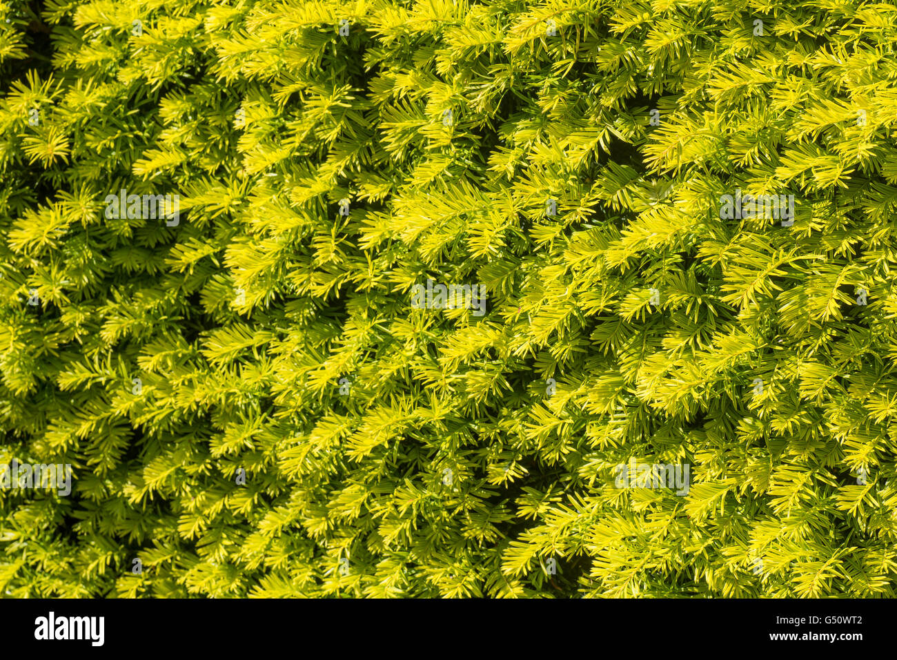 Lime green hedging makes an ideal privacy screen - Stock Image
