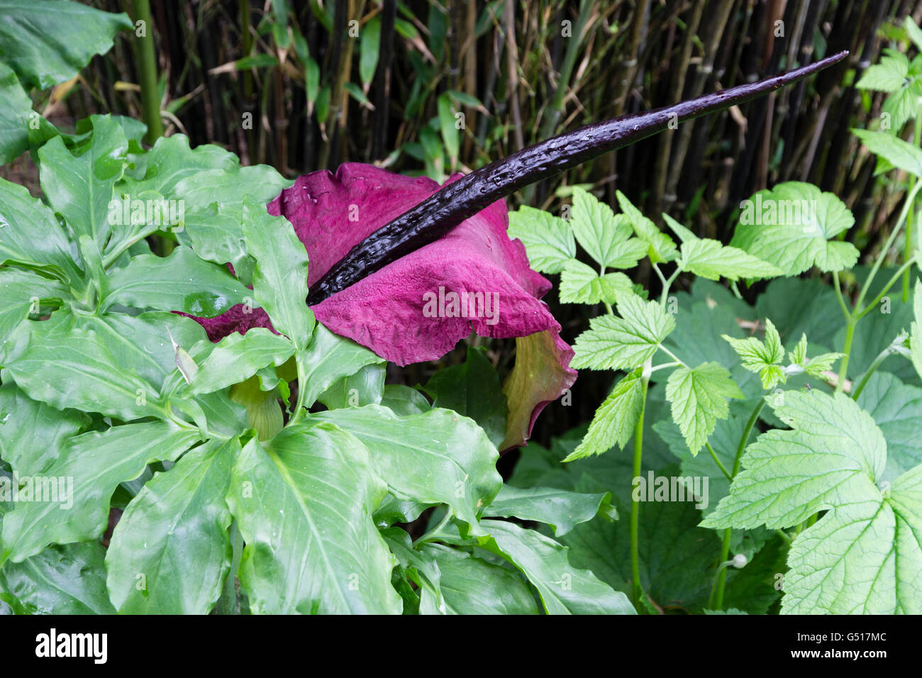 Red spathe and black spadix of the foul smelling dragon arum, Dracunculus vulgaris Stock Photo