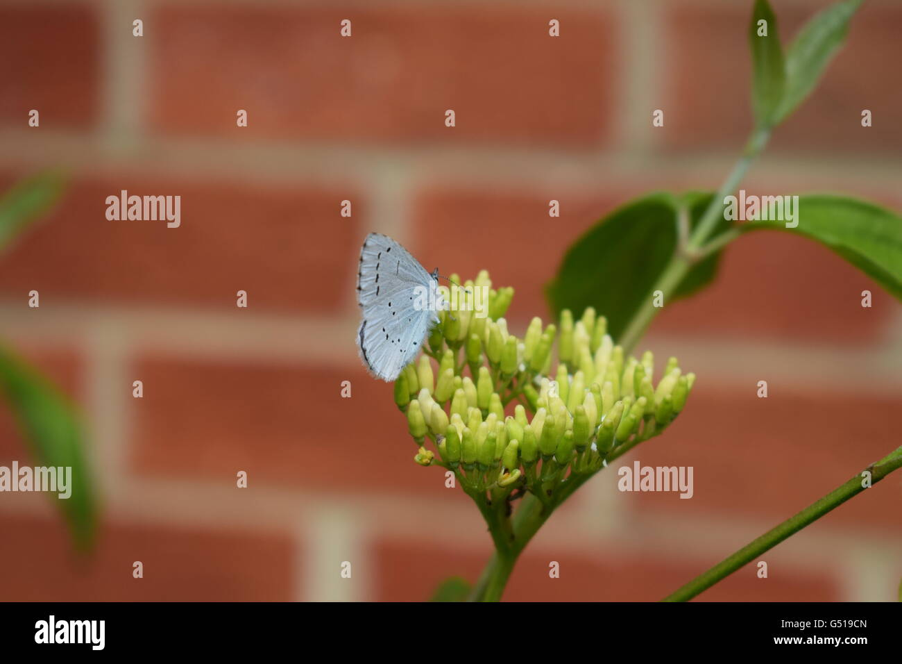 Common blue butterfly feeding on nectar - Stock Image