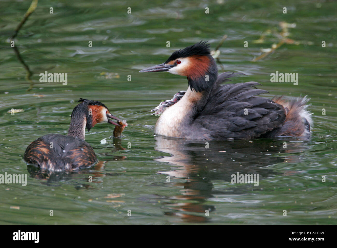 Great-crested Grebes, Podiceps cristatus, female bringing fish to young on back of male. Taken May. Lea Valley, - Stock Image